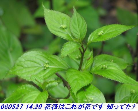 060527_kouzansyokubutuen_017