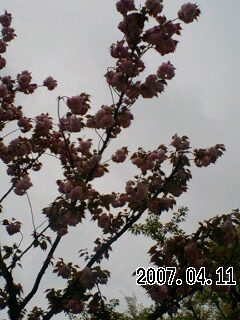 070411 八重桜