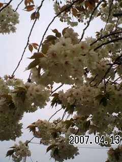 070413 ウコン桜