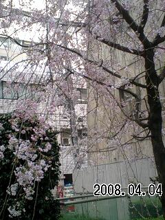 070404-3 枝垂れ桜