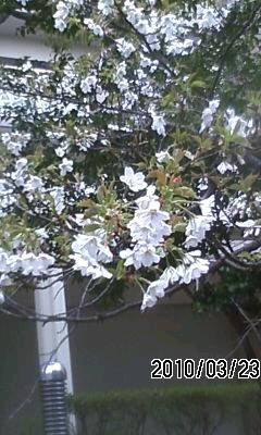 100324 神戸も開花