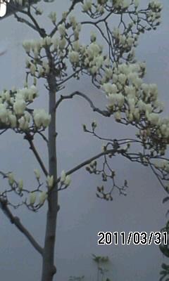110331 開花