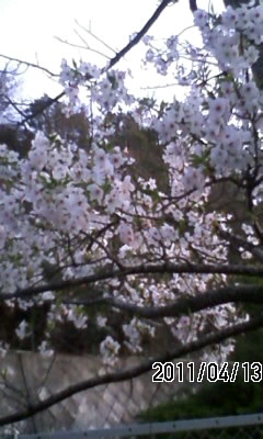 110413 裏六甲の山桜