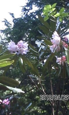 120429 石楠花と躑躅の競演