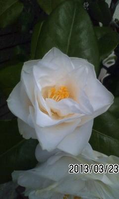 130323 桜開花