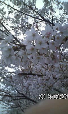 130329 桜と辛夷が満開