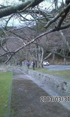 海津大崎の桜はつぼみ