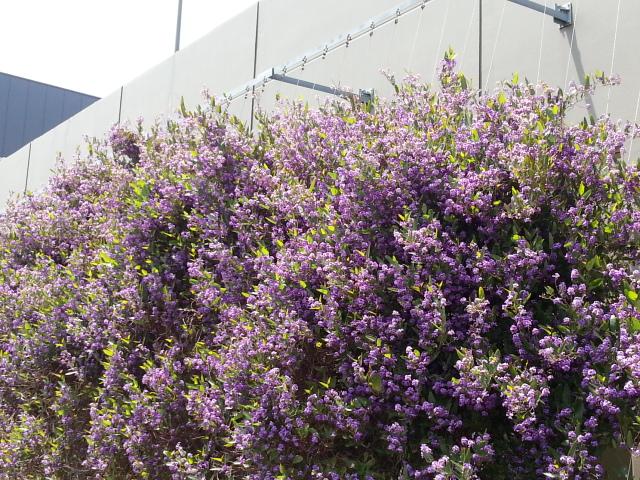 130509 鮮やかな紫