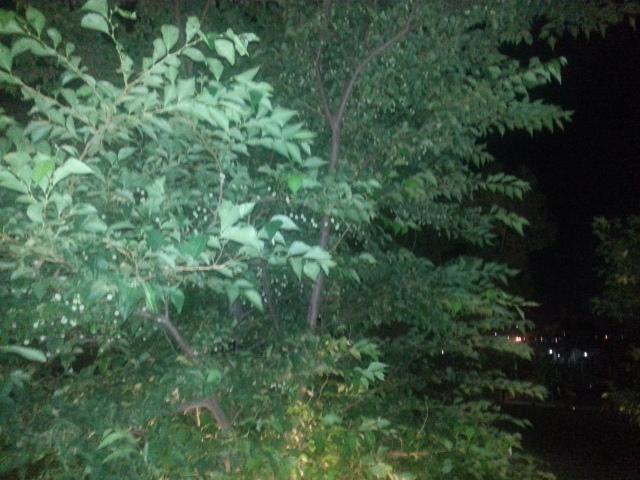 140728 エゴの木の実