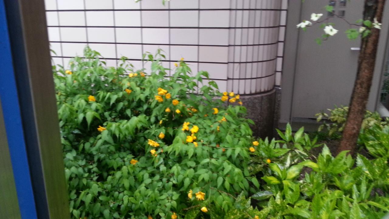 150414 春の花Ⅵ ハナミズキとヤマブキ