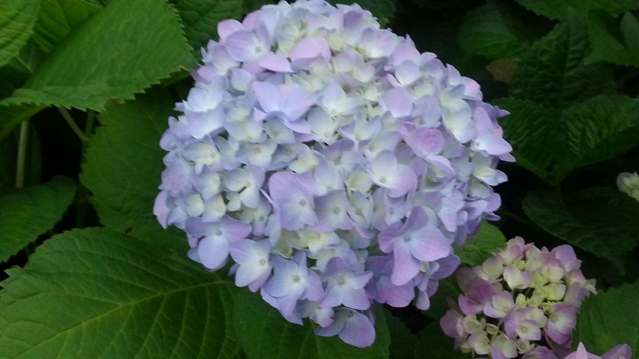 150525 紫陽花色づく