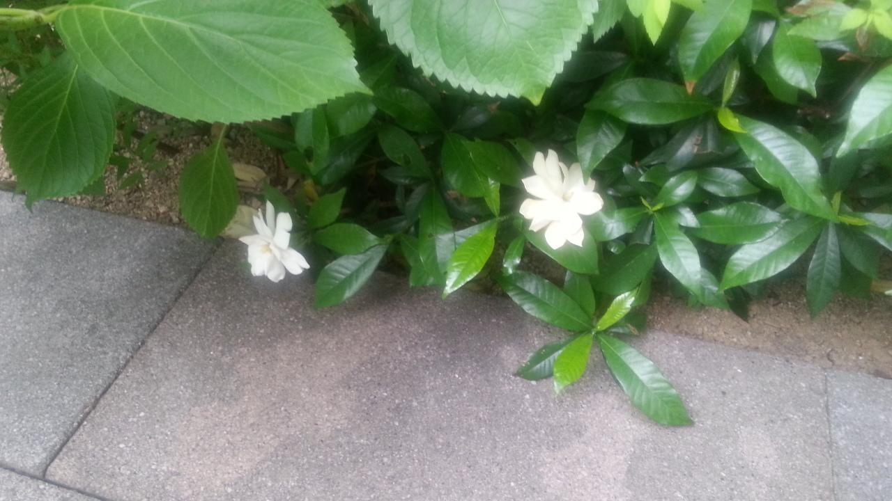 150602 クチナシの花
