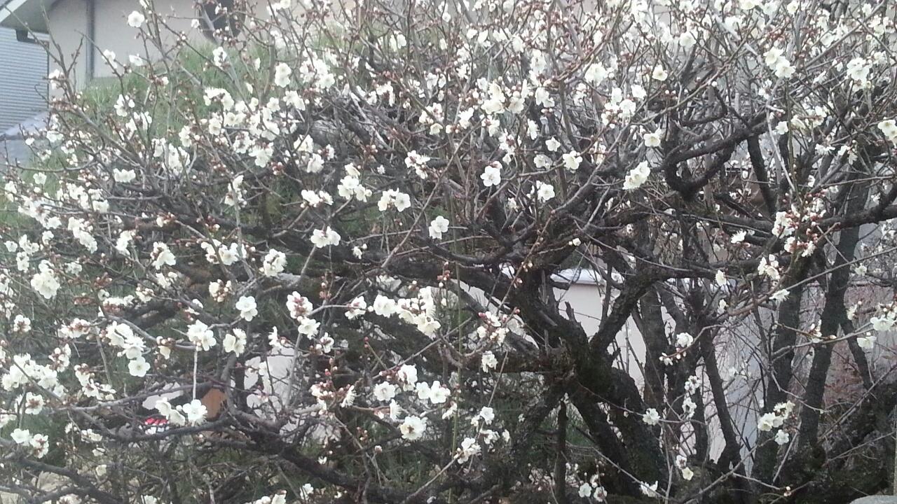 160202 弓弦羽神社の梅