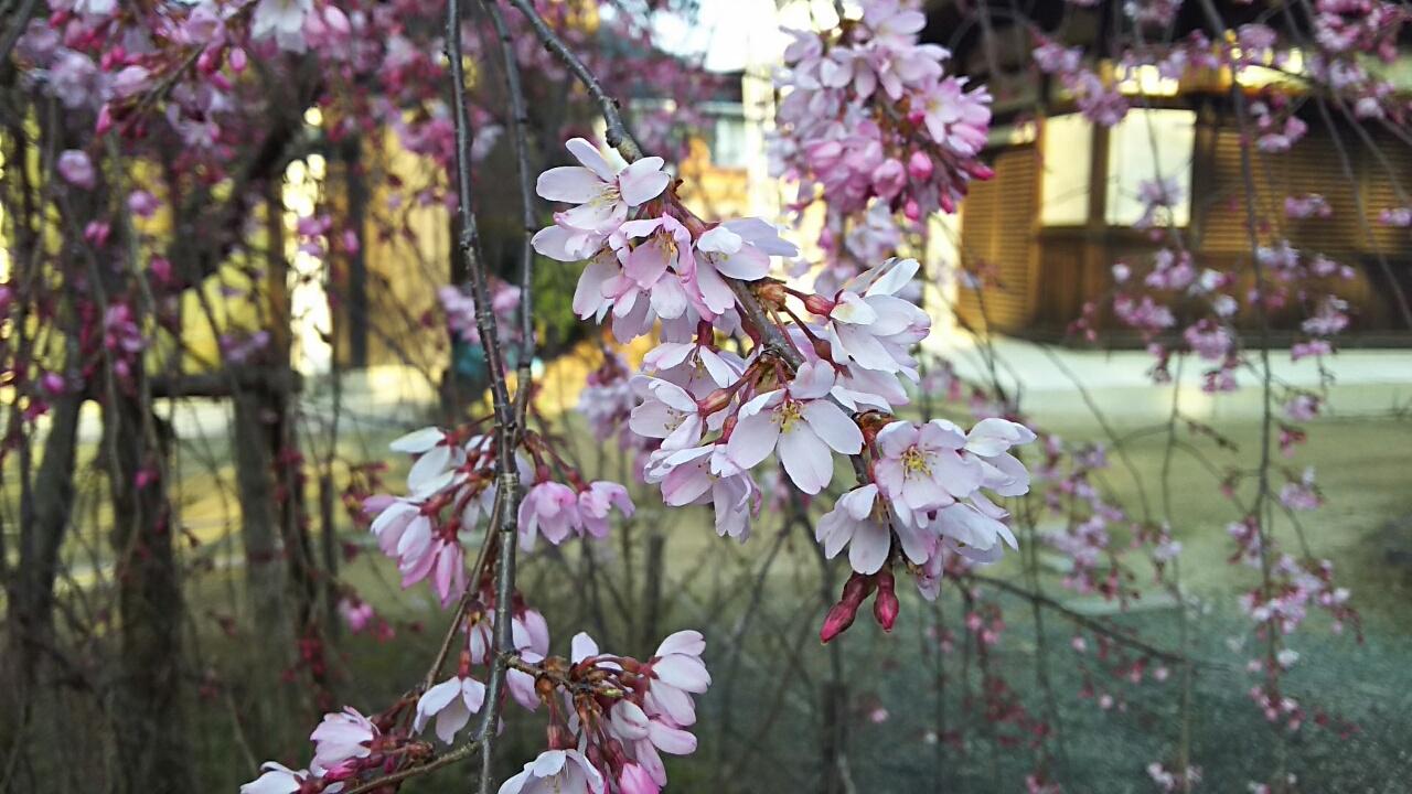 160329 しだれ桜