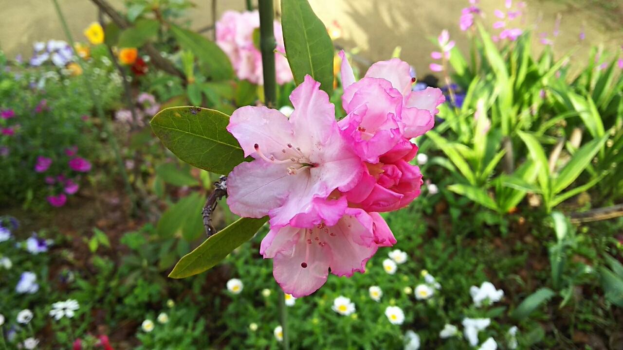 160422 羽衣ジャスミンと石楠花