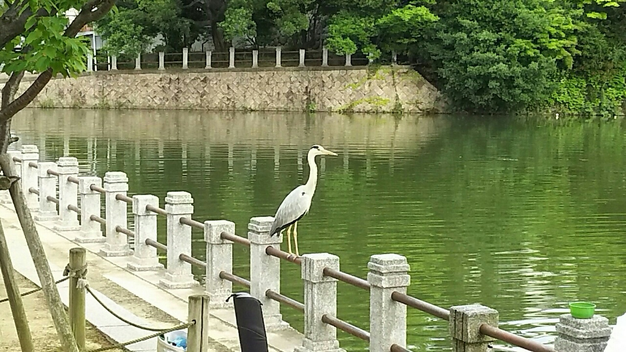 160520 深田池の主、青鷺