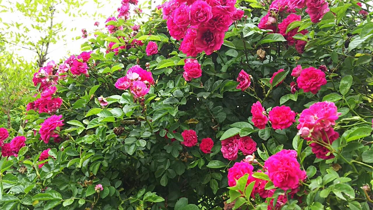 160525 薔薇と紫陽花