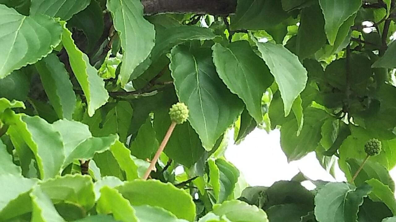 160614 山法師の木の実とエゴの木の実