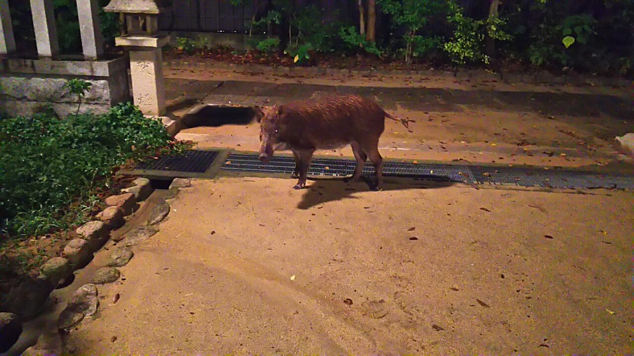 170908 また猪