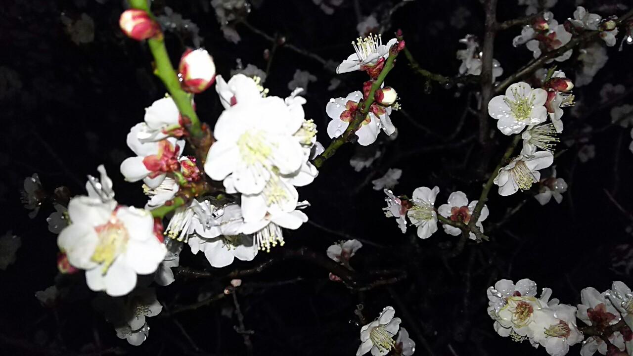 弓弦羽神社の白梅
