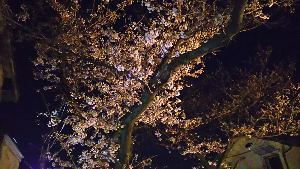 180323 神戸も開花
