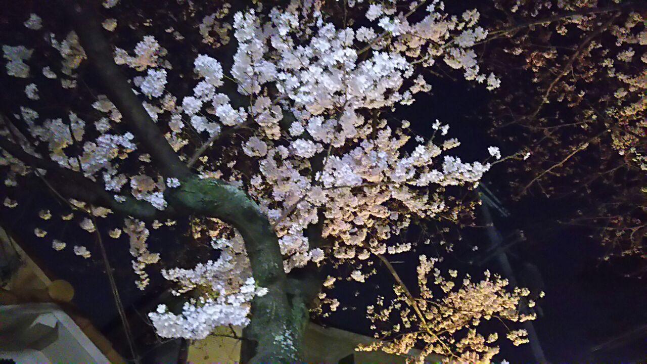 180326  弓弦羽神社の桜が満開