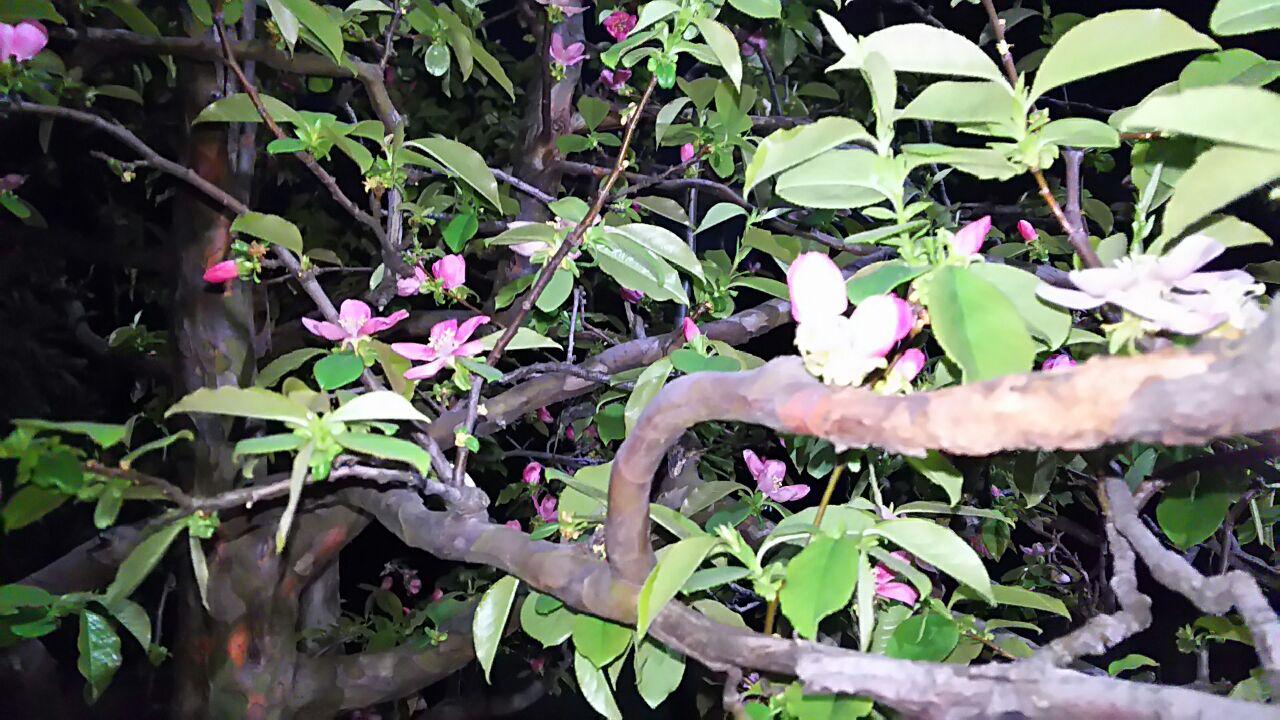 180404 カリンの花