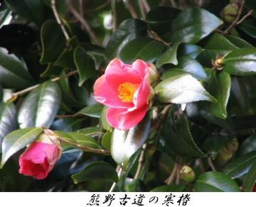 050226_Kumano_Kantubaki_001
