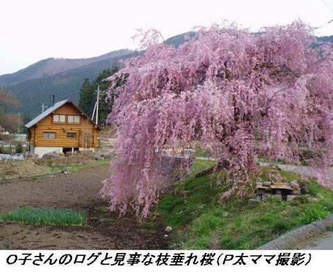 050419_Osan_Rog_ShidareSakura