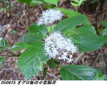 050626_KoAjisai_TuruAjisai001