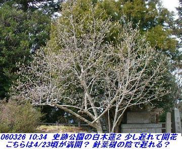 060326_mayayabumiti_shisekikoen_yagin_00423_shisekikouen_hakumokuren_09