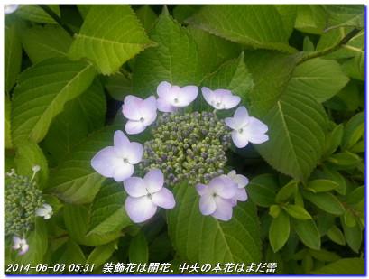 140617_yamaajisai_01