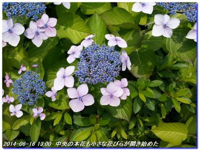 140617_yamaajisai_02