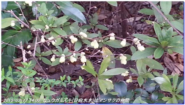 150317_matinohana_03