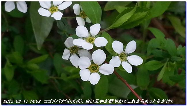 150317_matinohana_05