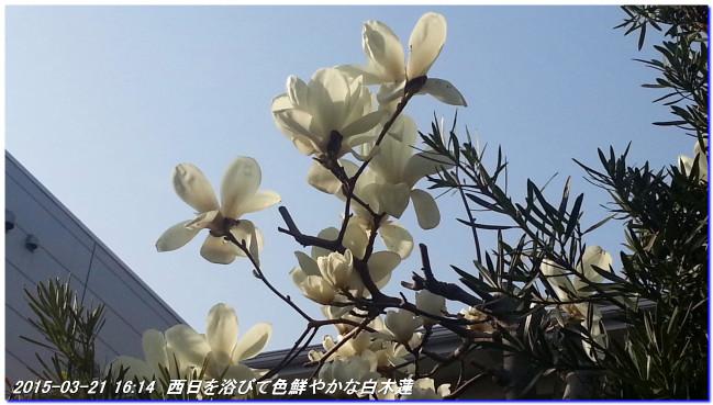150321_harunohana_04