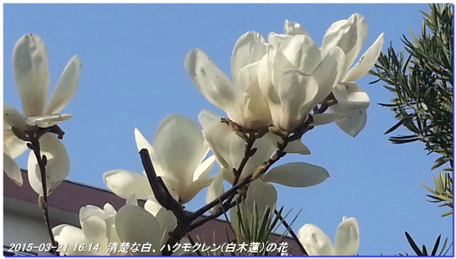 150321_harunohana_07