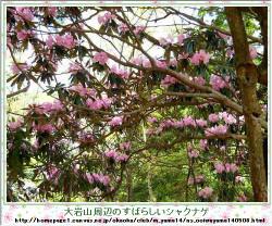 150430_ooiwayama_syakunage