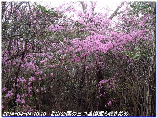 140404_kitayamakoen_syukugawasakura