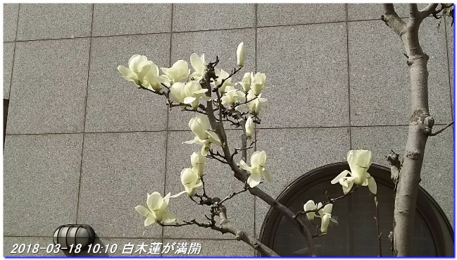 180318_hakumokuren_sakura_ume_01