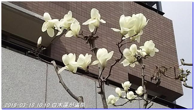180318_hakumokuren_sakura_ume_02