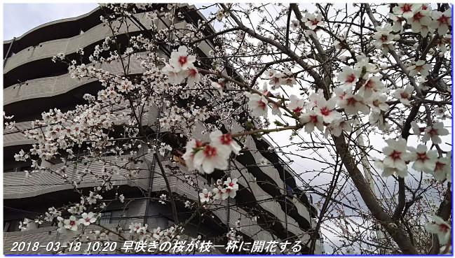 180318_hakumokuren_sakura_ume_04