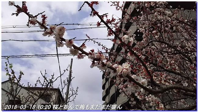 180318_hakumokuren_sakura_ume_05