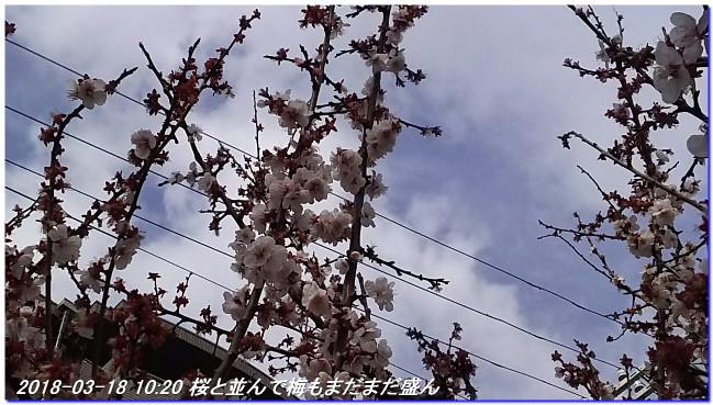 180318_hakumokuren_sakura_ume_06