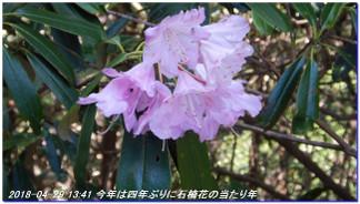 180429_hanasetoge_momoitoge_syaku_5