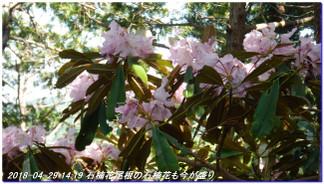 180429_hanasetoge_momoitoge_syaku_6