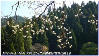 180421_hanase_sanbonsugi_tanbo_017