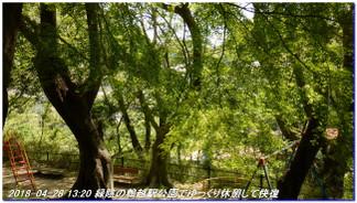 180428_myohoji_takatoriyama_kikus_4