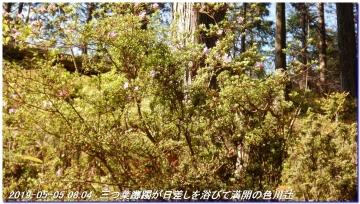 190505_ookumotori_sakuratyaya_013